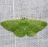7029 Cypress Emerald Moth Mahogany Hammock Everglades Natl Pk 3-10-13