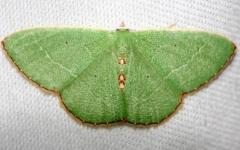7033 Red-bordered Emerald Moth Lkae Kissimmee St Pk 2-28-13a