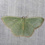 7033 Red-bordered Emerald yard 7-23-13 (1)_opt