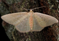 7047 Red-fringed Emerald Moth spring brood yard 5-25-14