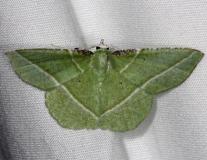 7053 Showy Emerald Moth Highland Hammock 3-4-14