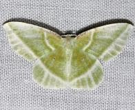 7053 Showy Emerald Moth Jenny Wiley St Pk 4-26-12