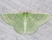 7058 Wavy-lined Emerald Moth yard 5-27-13