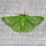 7059 Southern Emerald Moth Everglade Natl Pk Nike Missle Rd 3-5-13