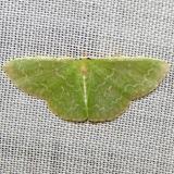 7059 Southern Emerald Moth Kissimmee Lake St Pk 2-23-12