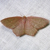 7075 Angle-winged Emerald Moth Juniper Springs Ocala Nat'l Forest Fla 3-13-12