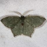 7075 Angle-winged Emerald Moth Silver Lake Cypress Glenn Fl 3-16-15