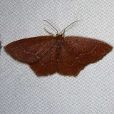 7075 Angle-winged Emerald Moth brown phase Osceola Natl Frt Ocean Pond Fl 3-24-15