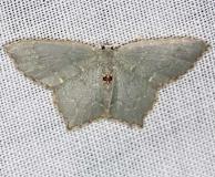 7075 Angle-winged Emerald Shawnee St Pk Oh 6-14-13
