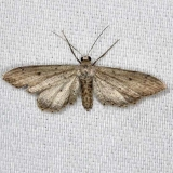 7086 Eumacrodes yponomeutaria NABA Gardens Texas 11-3-13_opt