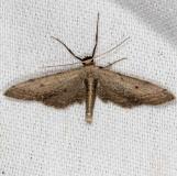 7089 Euacidalia quakerata NABA Gardens Mission, Texas 11-4-13_opt