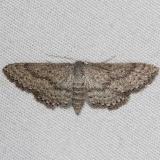 7094 Drab Brown Wave Moth Silver Lake Cypress Glenn Fl 3-19-15