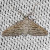 7097 Lobocleta plemyraria Straight-lined Wave Moth NABA Gardens Mission Texas 11-4-13