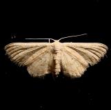 7100 Lobocleta peralbata Moth Ventana Canyon Resort Tucson Az 9-10-12