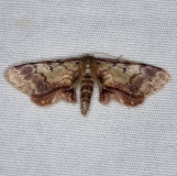 7108 Notched-winged Wave Moth Burr Oak St Pk at cabins Oh 6-27-14
