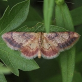 7114 Red-bordered Wave Moth Sandy Pt Scioto Co Oh 8-11-13