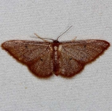 7115 Straw Wave Moth Silver Lake Cypress Glenn Fl 3-18-15
