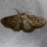 7118 Hill's Wave Moth Alexander Springs Ocala Natl Forest 3-18-13
