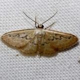 7118 Hill's Wve Moth Kissimmee Prairie St Pk 3-11-13