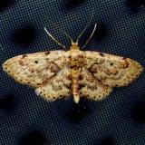 7119 Idaea micropterata tentative Lake Kissimmee St Pk Fl 2-28-13