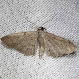 7120 Idaea violacearia Alexander Springs Ocala Natl Forest 3-18-13_opt