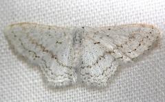 7122 Dot-lined Wave Moth Lake Kissimmee St Pk Fl 2-28-13
