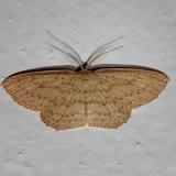 7132 Common Tan Wave Moth Kissimmee Prairie St Pk 3-12-13