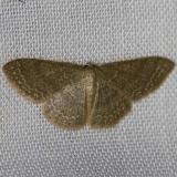 7133 Asthene Wave Moth yard 7-24-12