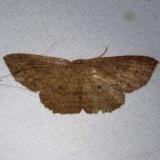 7137 Waxmyrtle Wave Moth Osceola Natl Frt Ocean Pond Fl 3-24-15