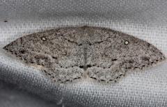 7139 Sweetfern Geometer Moth Thunder Lake Mich 6-21-13