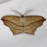 7147 Cross-lined Wave Moth yard 9-18-14