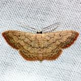 7156 Swag-lined Wave Moth Pineland Everglades Natl Pk 3-8-13