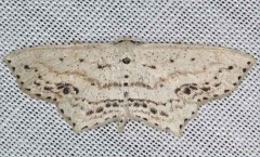7157 Frosted Tan Wave Moth Lake of the Woods Ontario 7-25-16 (1a)_opt