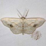7159 Large Lace-border Moth yard 6-3-16 (9)_opt