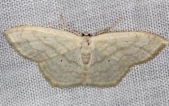 7159 Large Lace-border Moth yard 6-5-13