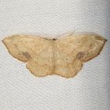 7160 Scopula timandrata Paynes Prairie St Pk 3-21-12