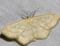 7169 Soft-lined Wave Moth yard 5-28-12