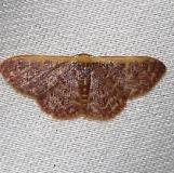 7174 Cross's Wave Moth Kissimmee Prairie St Pk 3-12-12