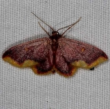 7181 Stained Lophosis Moth Rodman Campground Fl 3-20-14