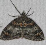 7182 Dark Marbled Carpet Moth Thunder Lake UP Mich 6-20-15