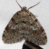7187 Marbled Carpet Moth Thunder Lake UP Mich 10-1-15