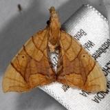 7196 Lesser Grapevine Looper Moth yard 8-14-15