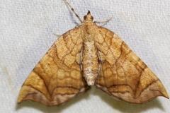 7197 Greater Grapevine Looper Moth1 yard 6-21-12a