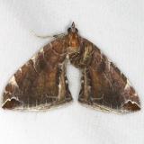 7203 Dimorphic Eulithis Moth Turkey Lake Shawnee St Pk 6-12-15