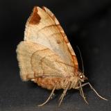 7203 Dimorphic Eulithis Turkey Lake Shawnee St Pk 6-12-15