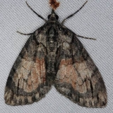 7229 Shattered Hydriomena Moth Thunder Lake UP Mich 6-25-14