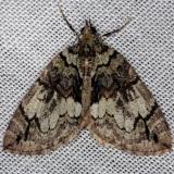 7235 Black-dashed Hydriomena Moth Thunder Lake Mich UP 6-22-13