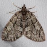 7236-Renounced-Hydriomena-Moth-Thunder-Lake-UP-Mich-6-20-15