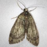 7237 Transfigured Hydriomena Moth yard 5-5-13
