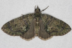 7239 Sharp Green Hydriomena Moth Faver-Dykes St Pk Fl 2-22-15